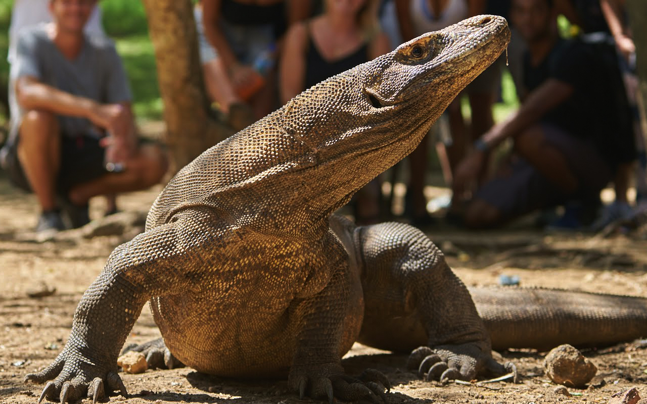 How to See Komodo Dragons and Visit Komodo Island (before it's too late) - Nomad Paradise