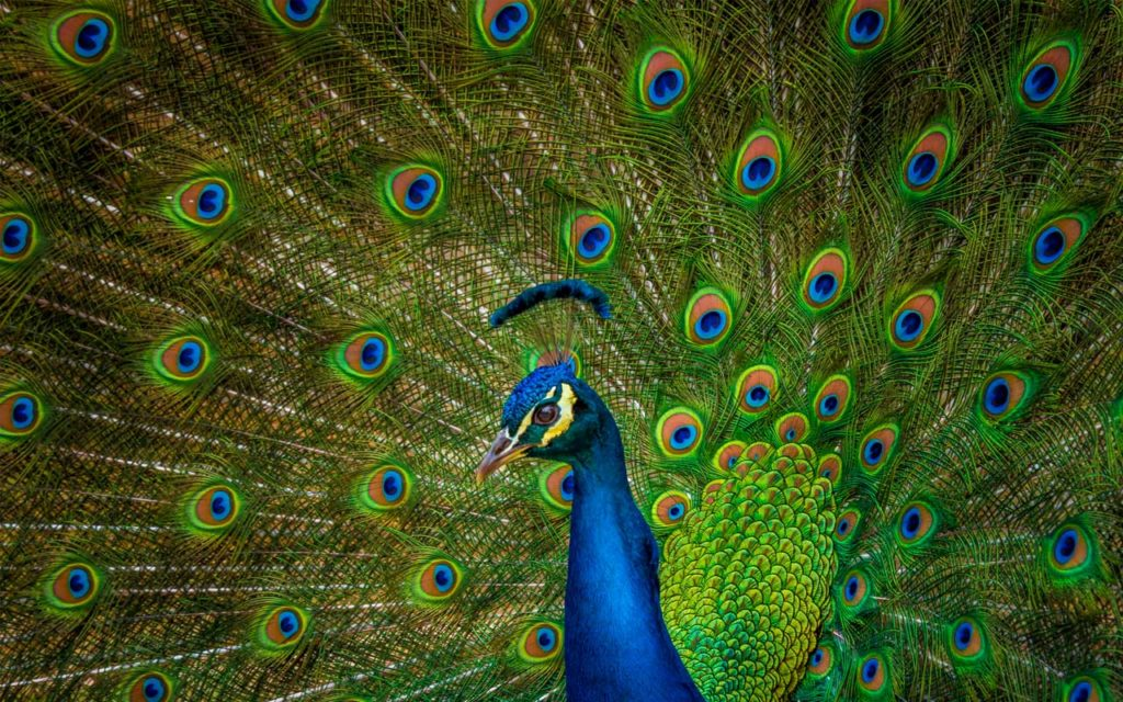 peacock porto