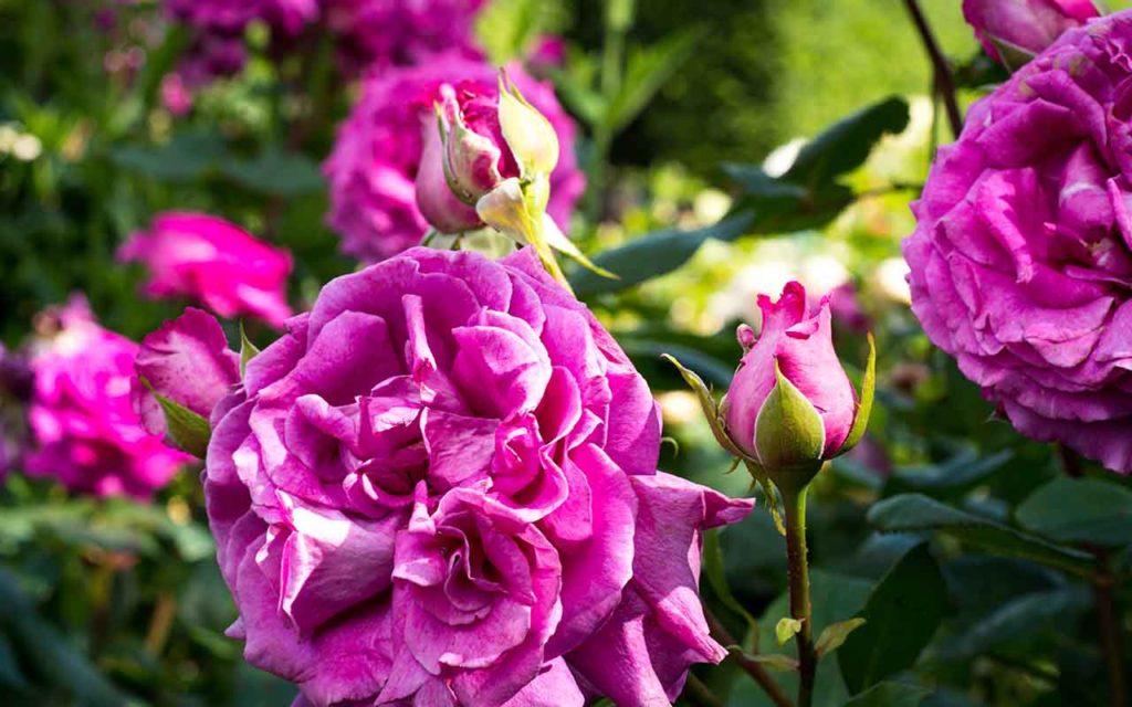 Rose Festival Gerberoy