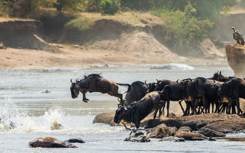 Wildebeest jumping into Mara River. Great Migration. Kenya. Tanzania. Masai Mara National Park.