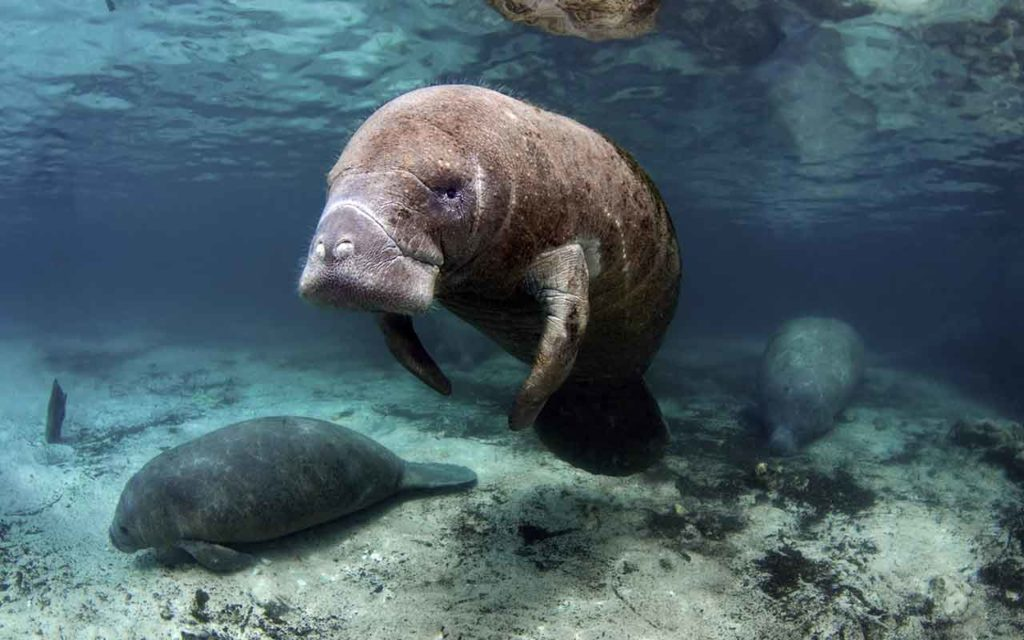 Florida Crystal River Manatees bucket list experience
