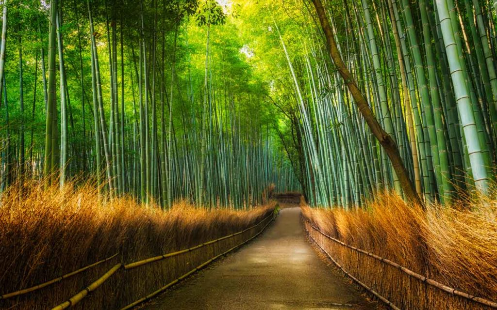 The Arashiyama Bamboo Grove of Kyoto, Japan