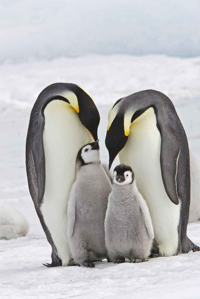 Penguins in Snow Hill Island, Antarctica