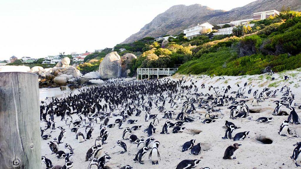 Penguins on Boulders Beach, Cape Peninsula