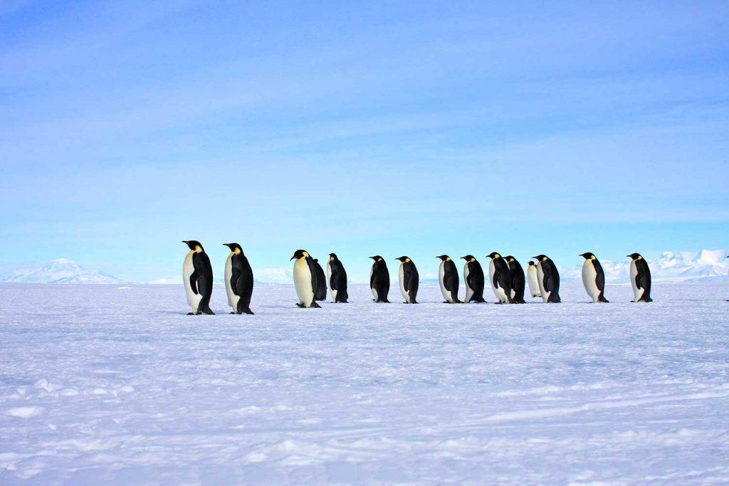 Penguins Ross Sea