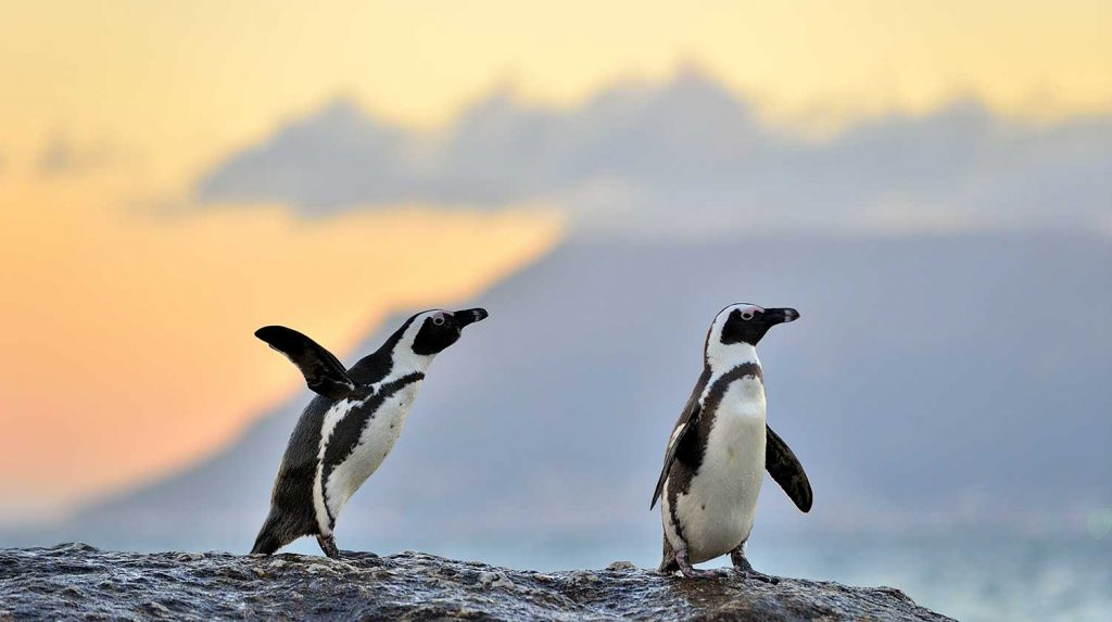 Penguins on Dassen Island