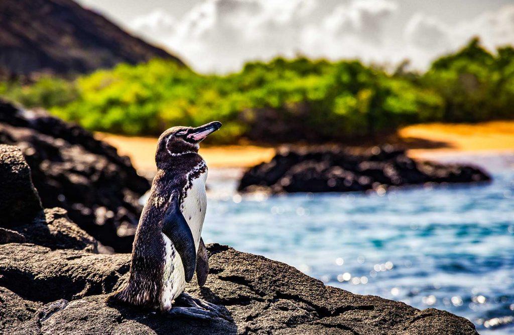Penguin in Galápagos Islands, Ecuador