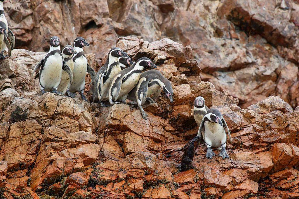 Penguins in Ballestas Islands, Peru