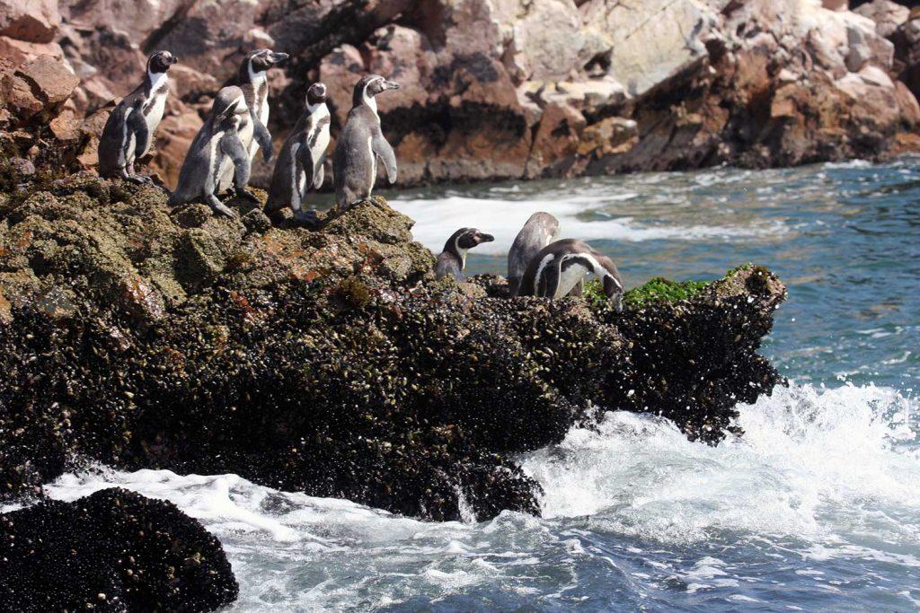 Penguins in Humboldt Penguin National Reserve, Chile