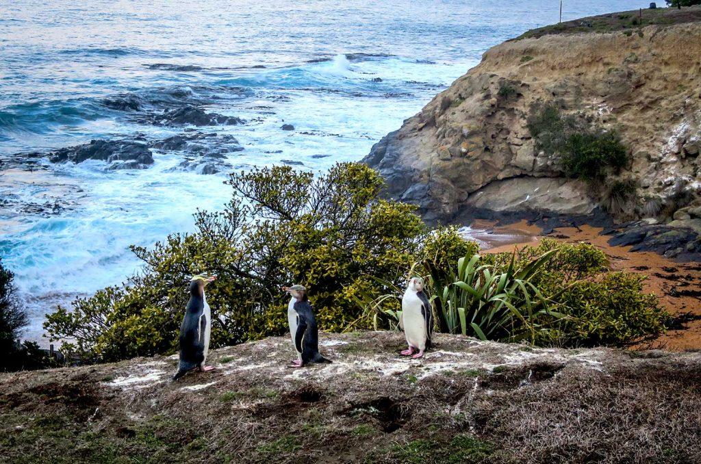Penguins in Stewart Island, Southland