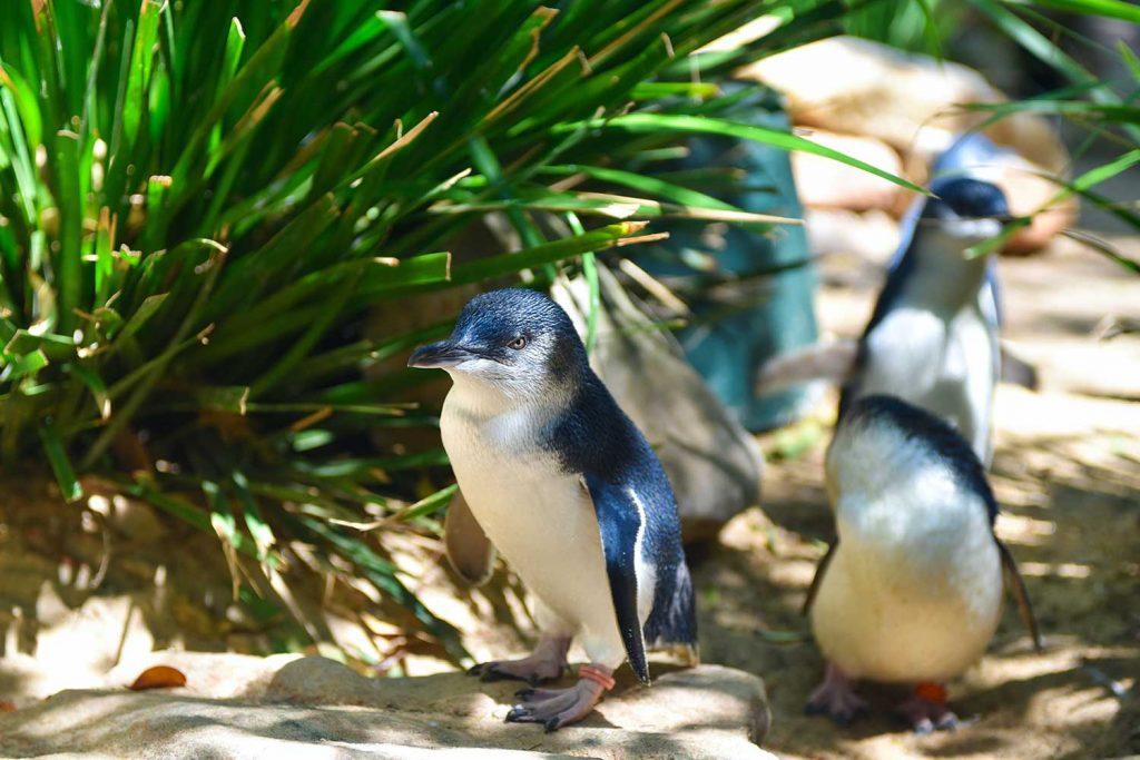 Penguins in Phillip Island, Victoria