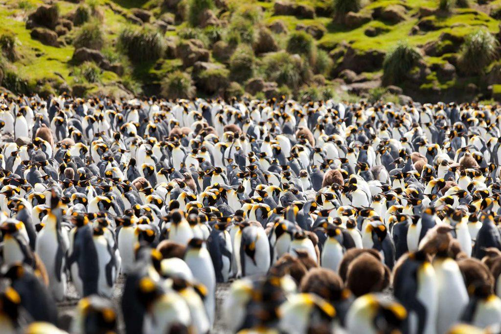Penguins in Macquarie Island, Australia