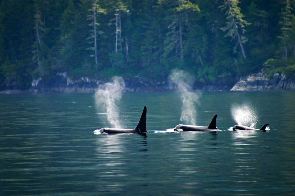 Orcas in Strait of Georgia, Vancouver, Canada