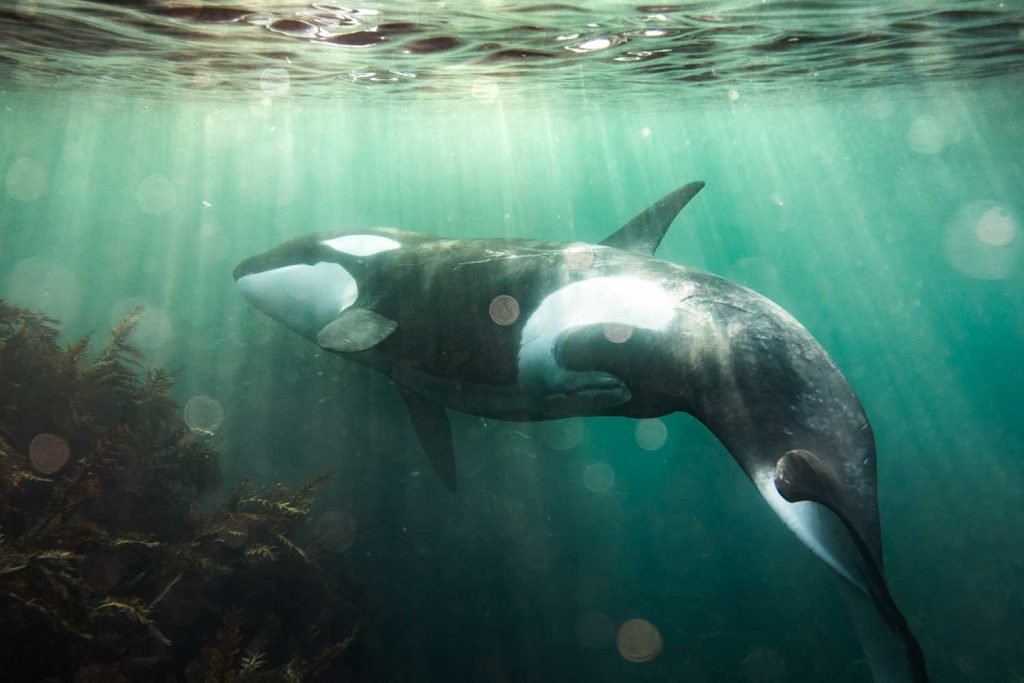 Orca in Auckland, New Zealand