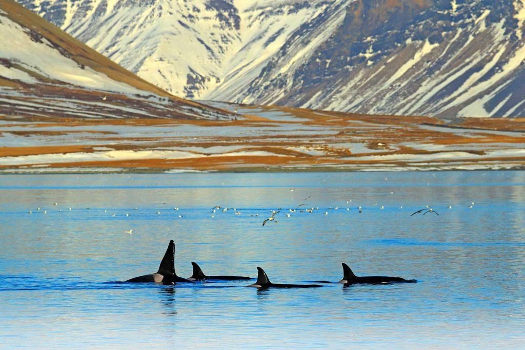 Orca in Olafsvik, Snaefellsnes, Iceland