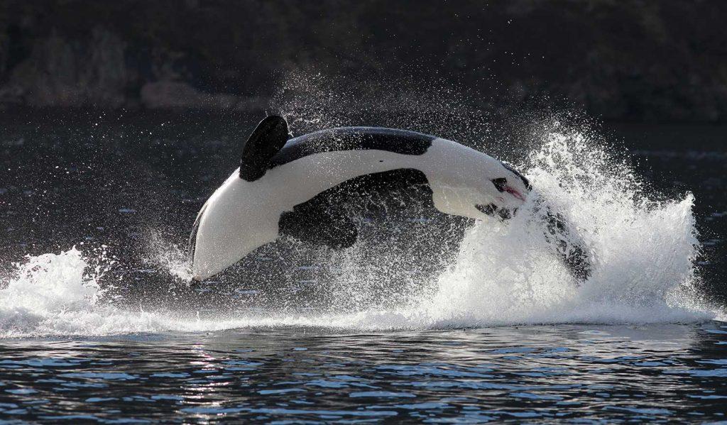Orca in Tromso, Norway