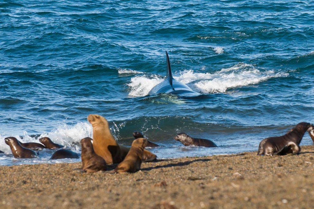 Orcas in Valdes Peninsula, Argentina