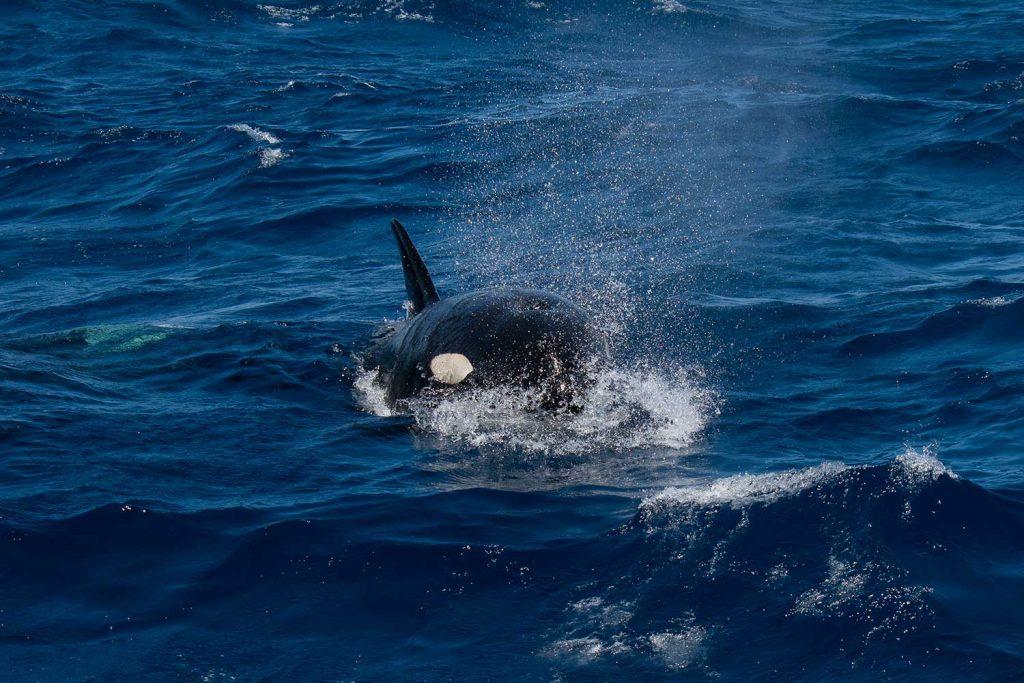 Orca in Bremer Bay, Western Australia