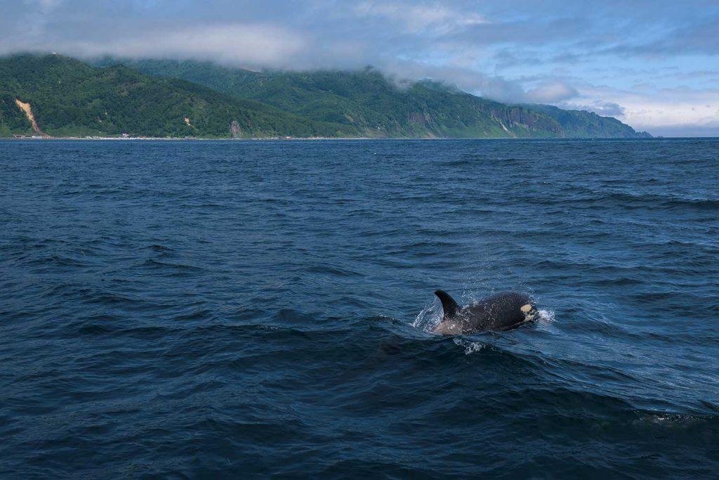 Orca in Shiretoko Peninsula, Hokkaido, Japan
