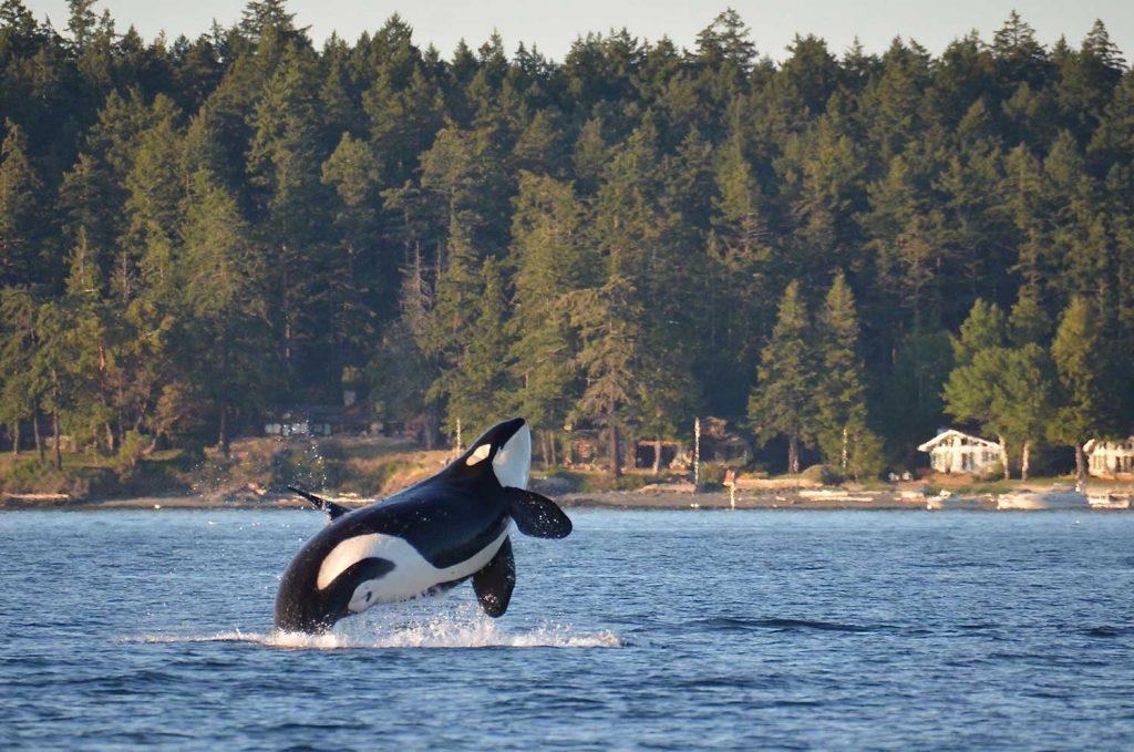 Orca in San Juan Island, Washington, USA