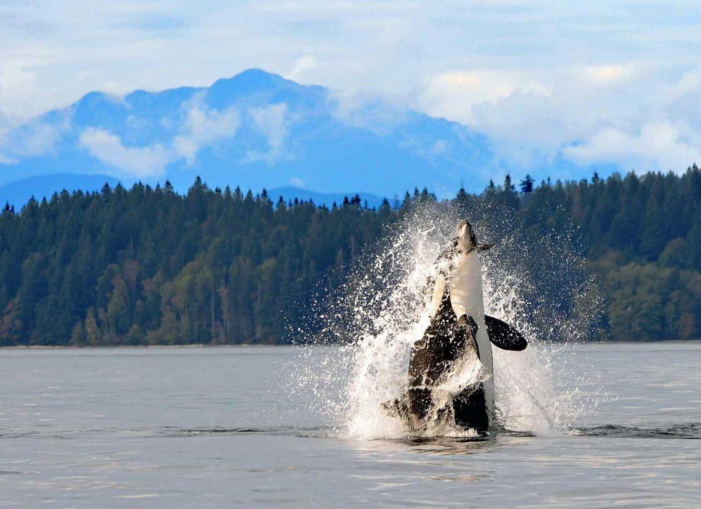 Orca in British Colombia, Canada