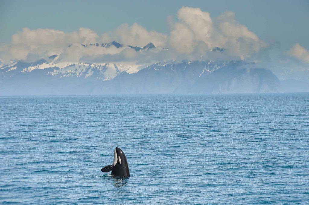 Orca in Resurrection Bay, Alaska, USA