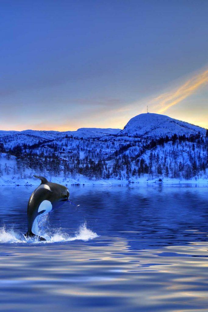 Orca in Andenes, Norway