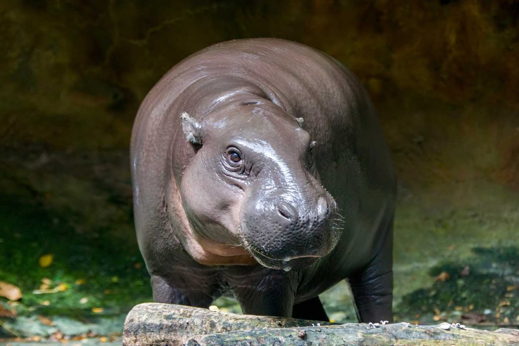 west african hippo